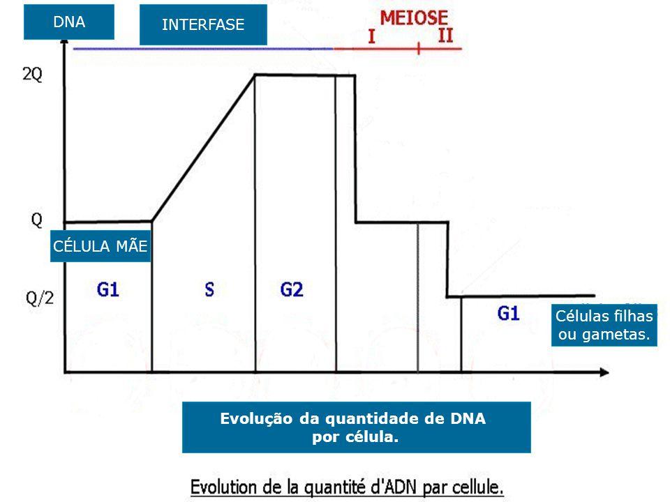 DNA INTERFASE CÉLULA MÃE Células filhas ou gametas. Evolução da quantidade de DNA por célula.