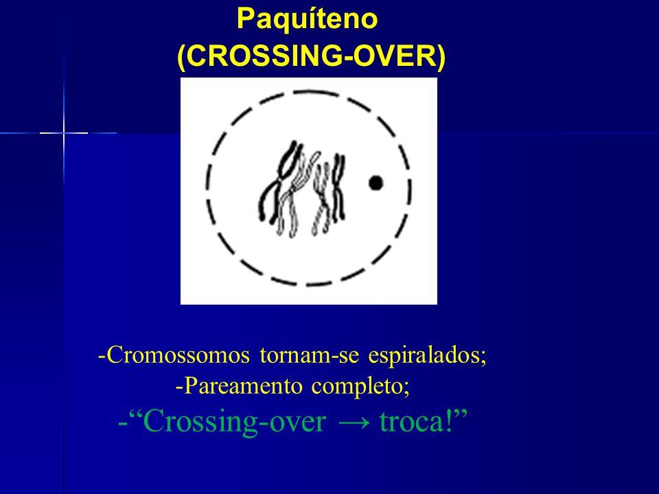 Paquíteno (CROSSING-OVER) -Cromossomos tornam-se espiralados; -Pareamento completo; -Crossing-over troca!