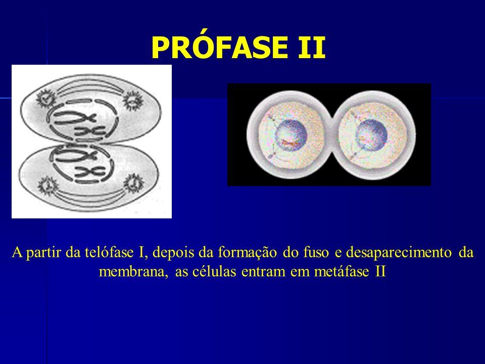 PRÓFASE II A partir da telófase I, depois da formação do fuso e desaparecimento da membrana, as células entram em metáfase II
