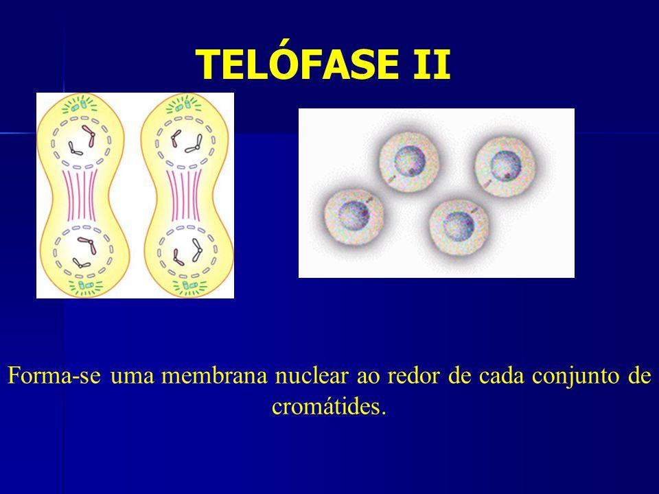 TELÓFASE II Forma-se uma membrana nuclear ao redor de cada conjunto de cromátides.