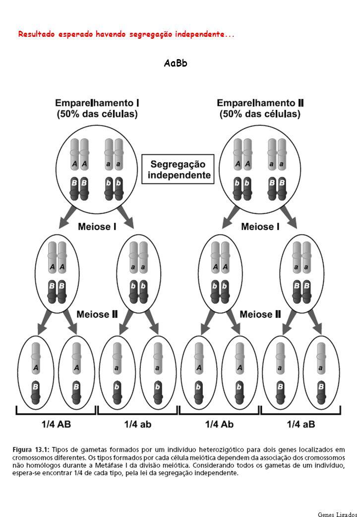 Genes Ligados Resultado esperado havendo segregação independente... AaBb