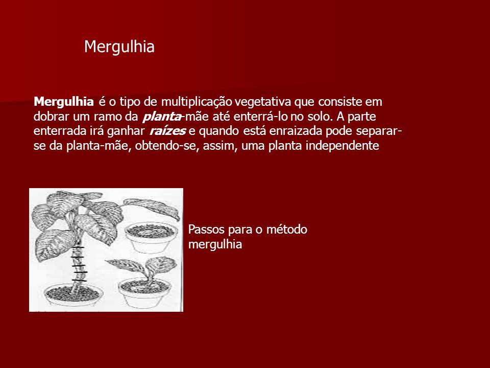 Mergulhia é o tipo de multiplicação vegetativa que consiste em dobrar um ramo da planta-mãe até enterrá-lo no solo. A parte enterrada irá ganhar raíze