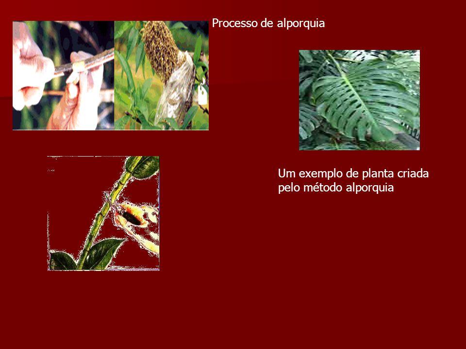 Processo de alporquia Um exemplo de planta criada pelo método alporquia