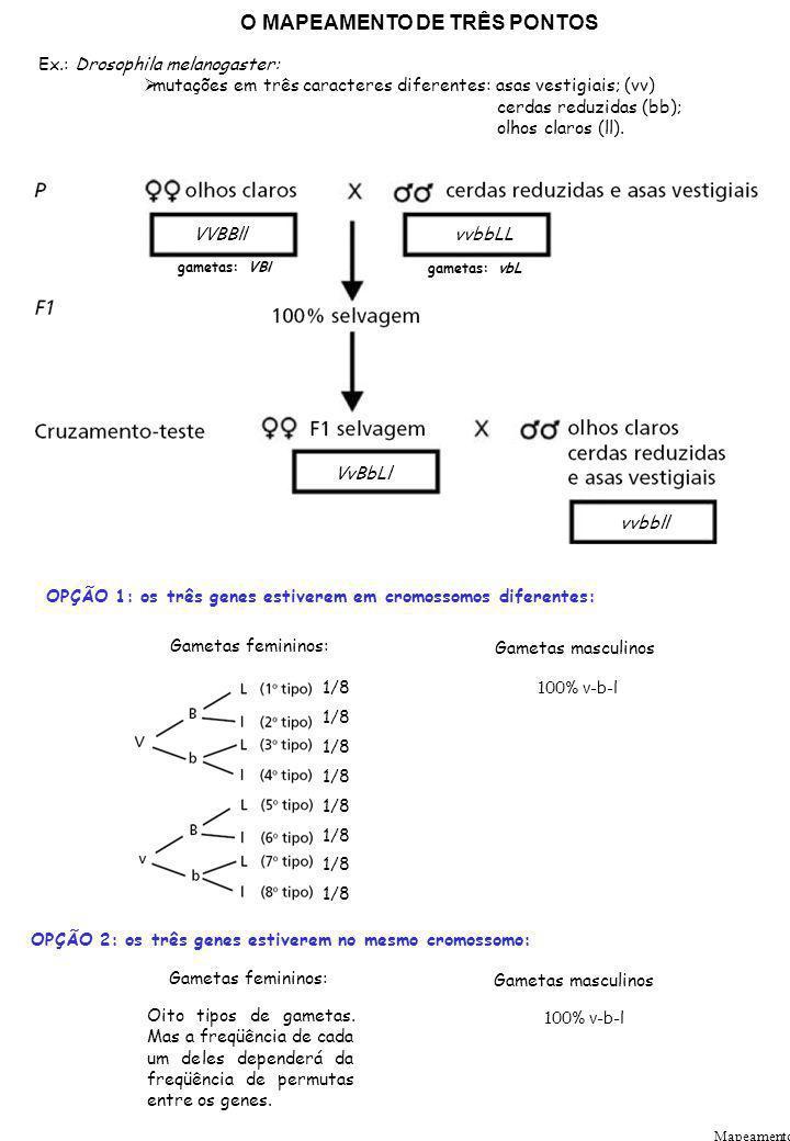 Mapeamento O MAPEAMENTO DE TRÊS PONTOS Ex.: Drosophila melanogaster: mutações em três caracteres diferentes: asas vestigiais; (vv) cerdas reduzidas (b
