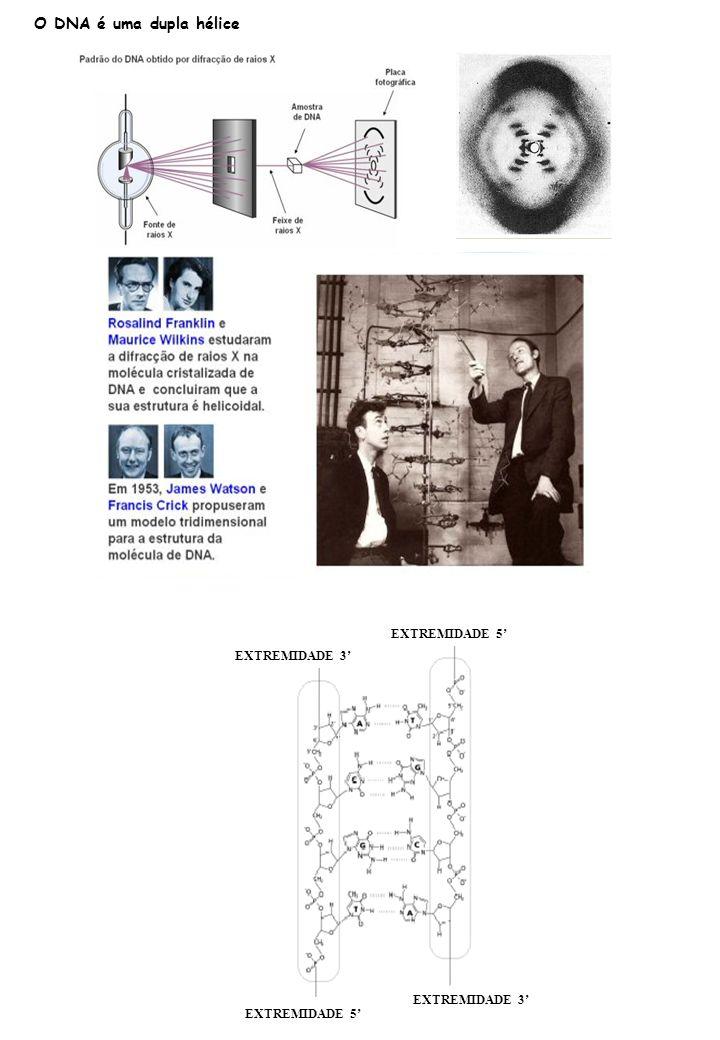 O DNA é uma dupla hélice EXTREMIDADE 5 EXTREMIDADE 3