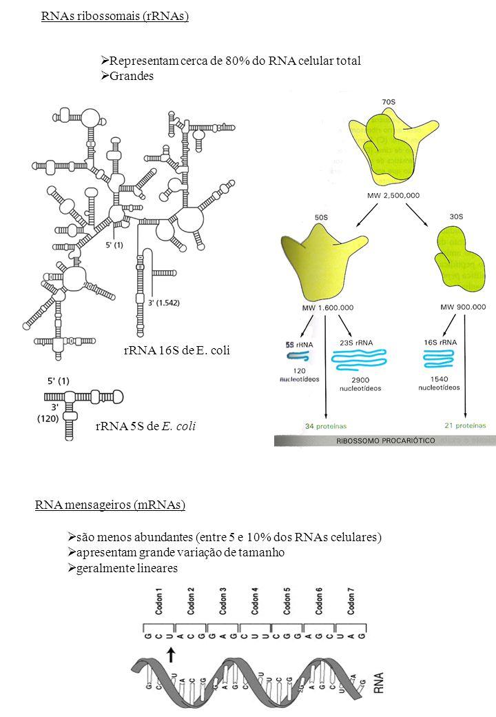 RNAs ribossomais (rRNAs) Representam cerca de 80% do RNA celular total Grandes são menos abundantes (entre 5 e 10% dos RNAs celulares) apresentam gran