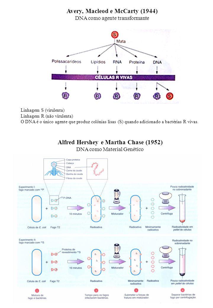 Avery, Macleod e McCarty (1944) DNA como agente transformante Linhagem S (virulenta) Linhagem R (não virulenta) O DNA é o único agente que produz colô