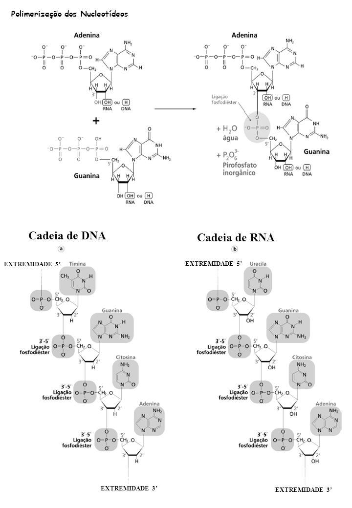 Cadeia de DNA Cadeia de RNA EXTREMIDADE 5 EXTREMIDADE 3 Polimerização dos Nucleotídeos