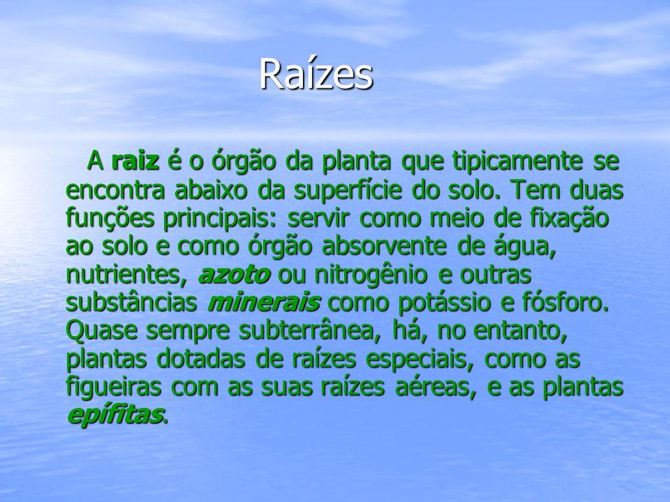 Raízes Raízes A raiz é o órgão da planta que tipicamente se encontra abaixo da superfície do solo.