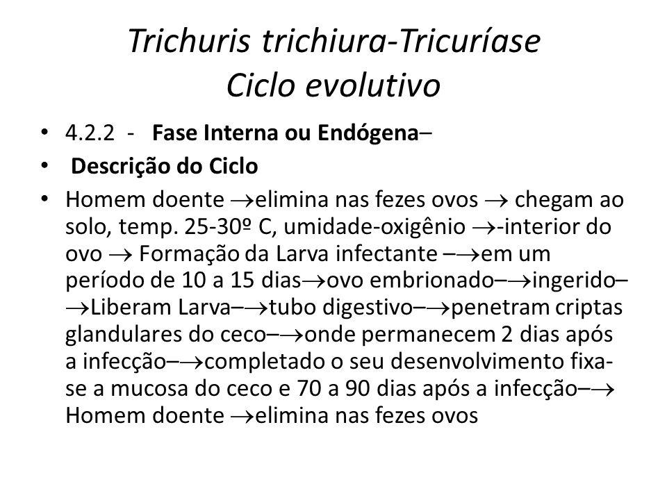 Trichuris trichiura-Tricuríase Ciclo evolutivo 4.2.2 - Fase Interna ou Endógena– Descrição do Ciclo Homem doente elimina nas fezes ovos chegam ao solo
