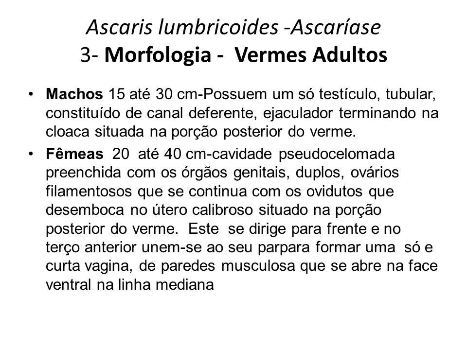 Ascaris lumbricoides -Ascaríase 3- Morfologia - Vermes Adultos Machos 15 até 30 cm-Possuem um só testículo, tubular, constituído de canal deferente, e