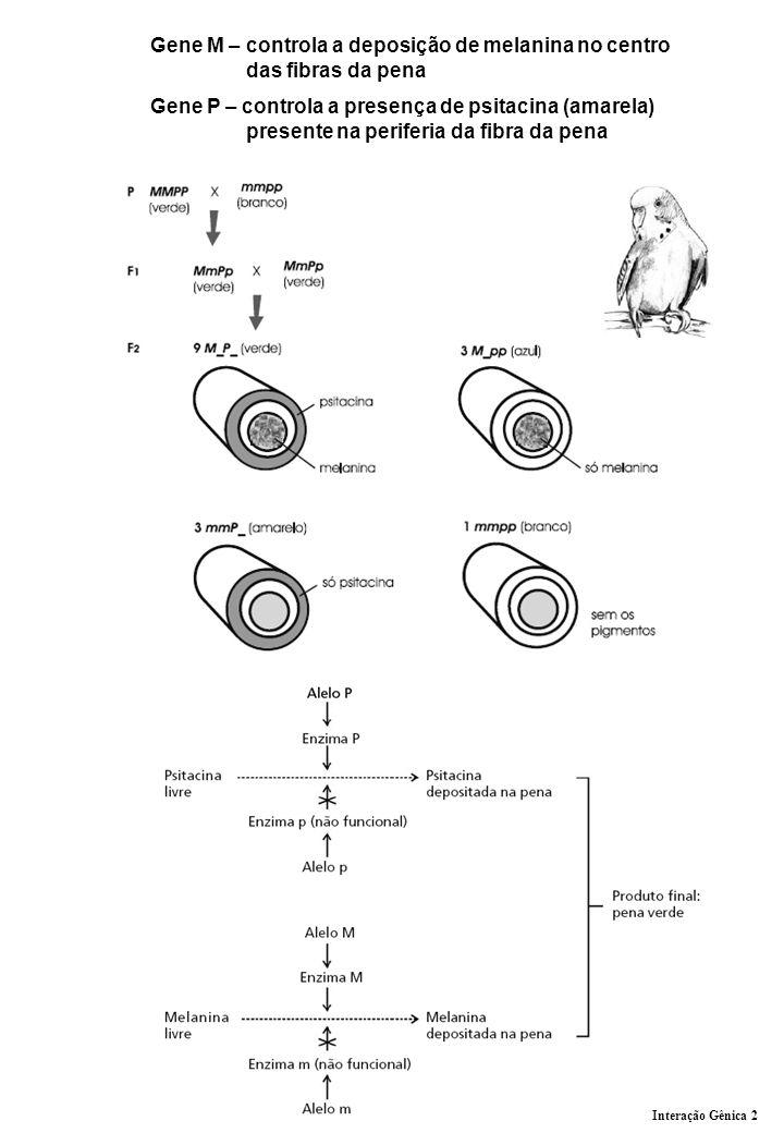 Gene M – controla a deposição de melanina no centro das fibras da pena Gene P – controla a presença de psitacina (amarela) presente na periferia da fi