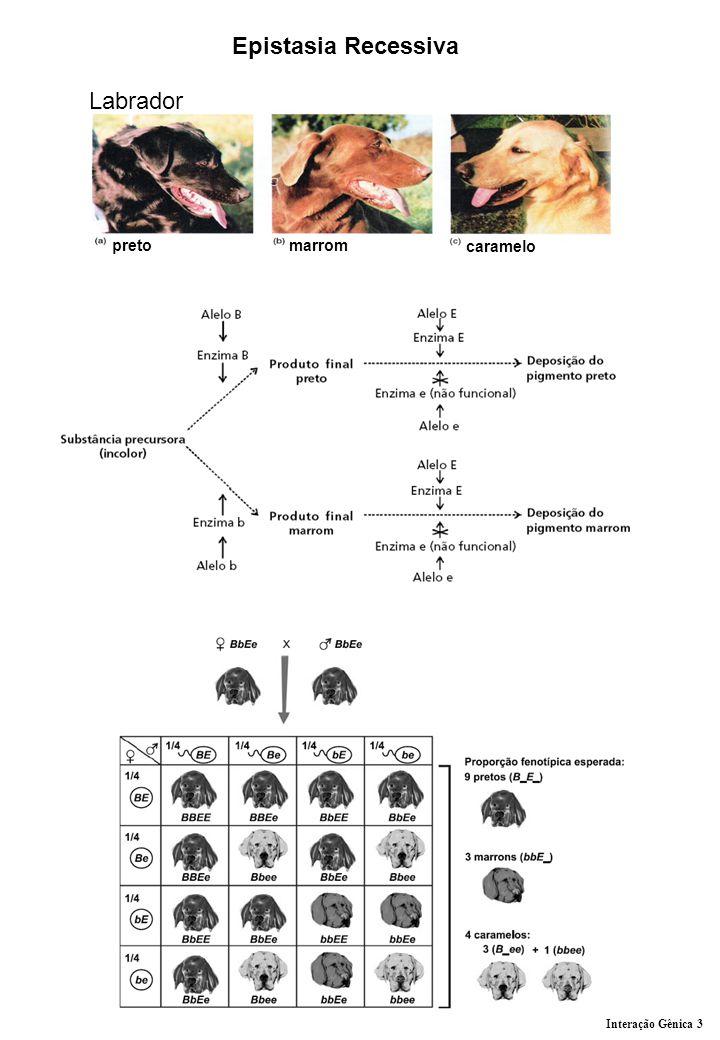 Epistasia Recessiva preto marrom caramelo Labrador Interação Gênica 3