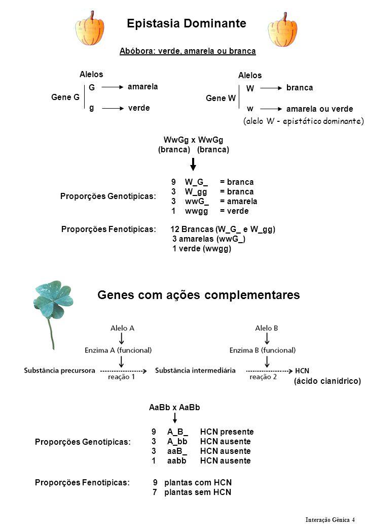 Epistasia Dominante Abóbora: verde, amarela ou branca Gene G Alelos G g amarela verde Gene W Alelos W w branca amarela ou verde WwGg x WwGg (branca) (