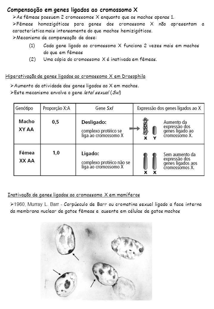 Compensação em genes ligados ao cromossomo X As fêmeas possuem 2 cromossomos X enquanto que os machos apenas 1. Fêmeas homozigóticas para genes dos cr