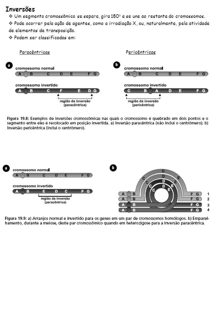 Inversões Um segmento cromossômico se separa, gira 180 o e se une ao restante do cromossomos. Pode ocorrer pela ação de agentes, como a irradiação X,