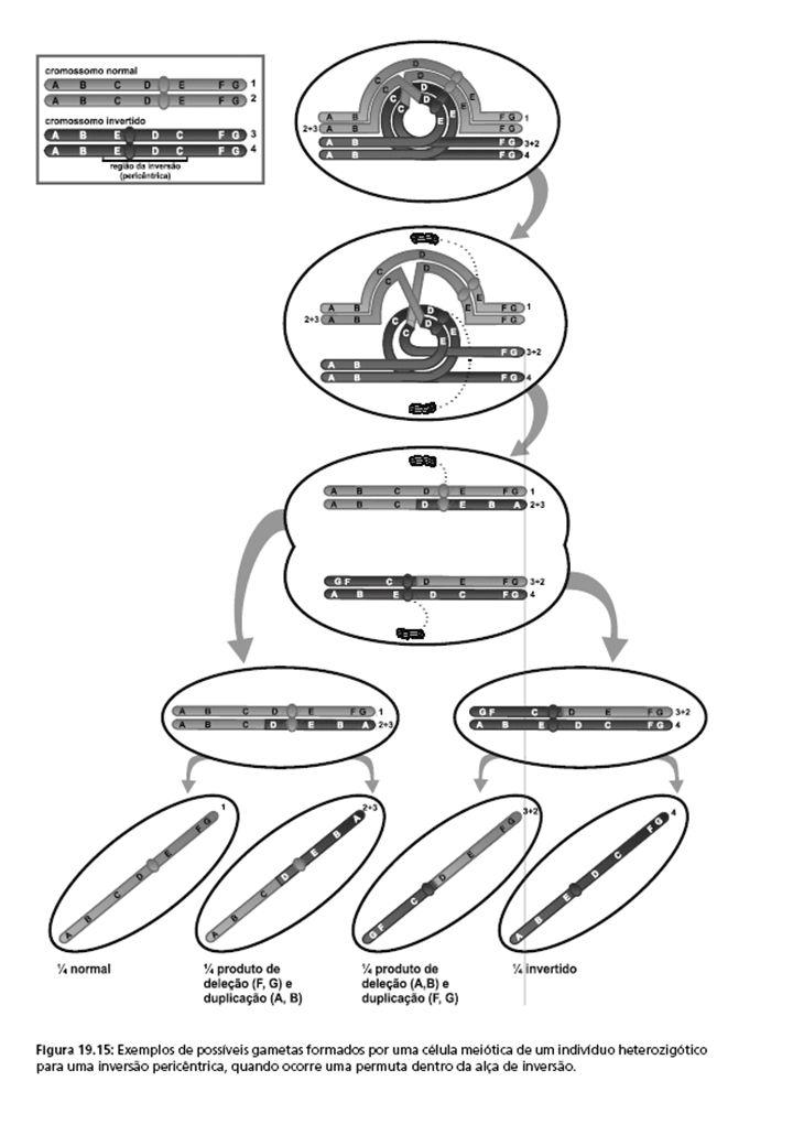 Translocações Um segmento de um cromossomo é destacado e religado em um cromossomo diferente (que não é seu homólogo).