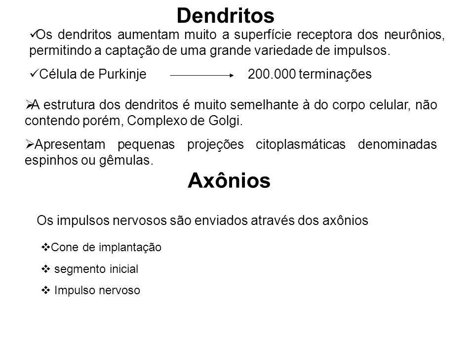 Dendritos Os dendritos aumentam muito a superfície receptora dos neurônios, permitindo a captação de uma grande variedade de impulsos. Célula de Purki