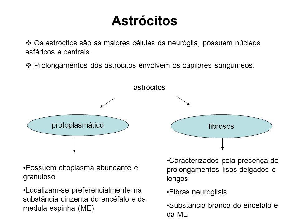 Astrócitos Os astrócitos são as maiores células da neuróglia, possuem núcleos esféricos e centrais. Prolongamentos dos astrócitos envolvem os capilare