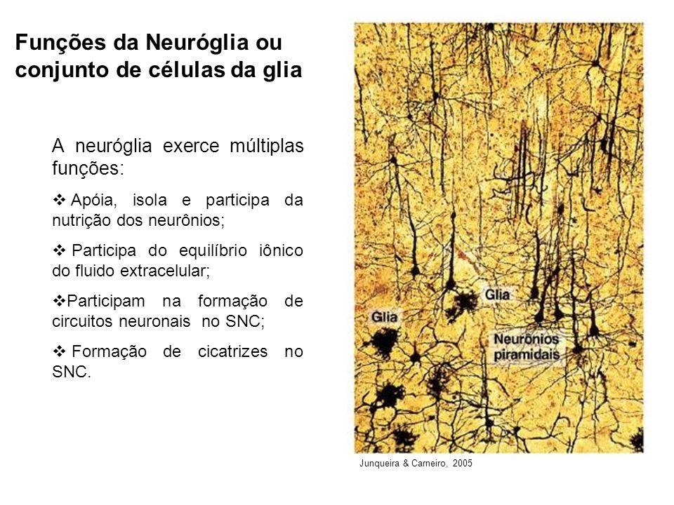 Funções da Neuróglia ou conjunto de células da glia A neuróglia exerce múltiplas funções: Apóia, isola e participa da nutrição dos neurônios; Participa do equilíbrio iônico do fluido extracelular; Participam na formação de circuitos neuronais no SNC; Formação de cicatrizes no SNC.