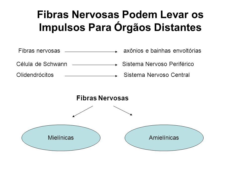 Fibras Nervosas Podem Levar os Impulsos Para Órgãos Distantes Fibras nervosas axônios e bainhas envoltórias Célula de Schwann Sistema Nervoso Periférico Olidendrócitos Sistema Nervoso Central Fibras Nervosas MielínicasAmielínicas