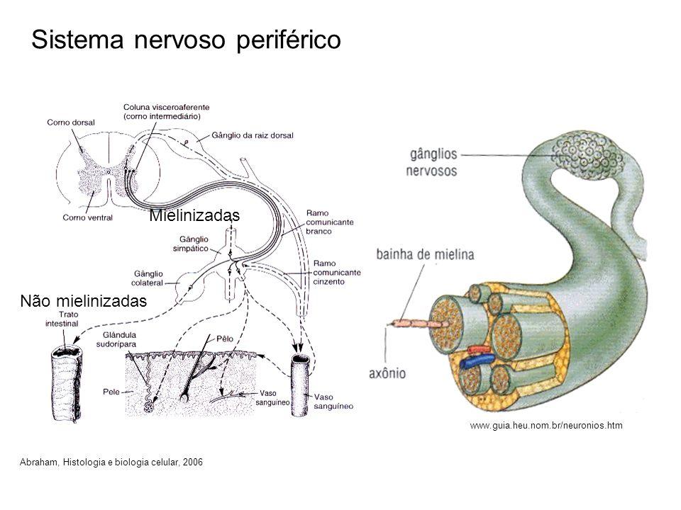 Sistema nervoso periférico Mielinizadas Não mielinizadas Abraham, Histologia e biologia celular, 2006 www.guia.heu.nom.br/neuronios.htm