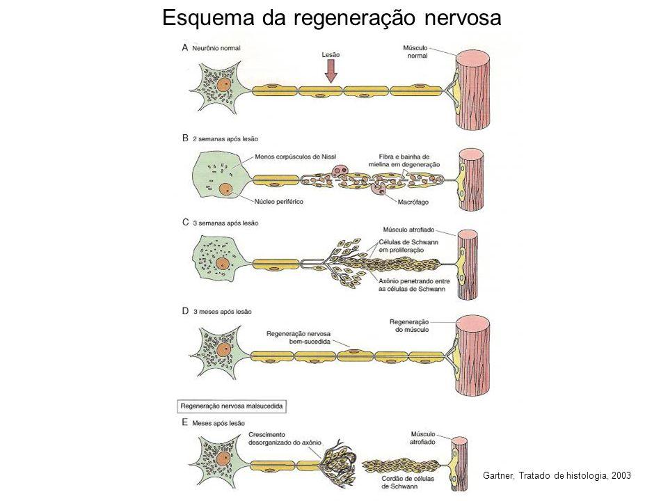 Esquema da regeneração nervosa Gartner, Tratado de histologia, 2003