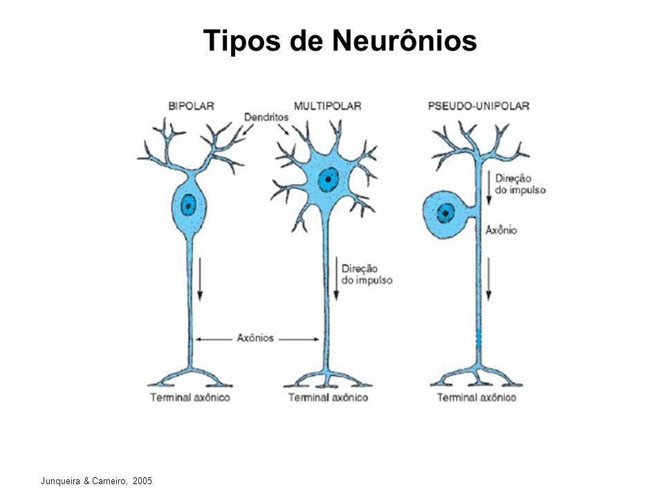Células da Glia Junqueira & Carneiro, 2005