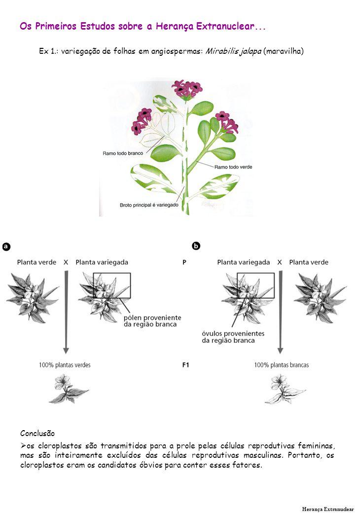 Herança Extranuclear Os Primeiros Estudos sobre a Herança Extranuclear... Ex 1.: variegação de folhas em angiospermas: Mirabilis jalapa (maravilha) Co