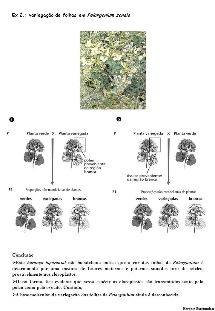Herança Extranuclear Ex 2.: variegação de folhas em Pelargonium zonale Conclusão Esta herança biparental não-mendeliana indica que a cor das folhas de