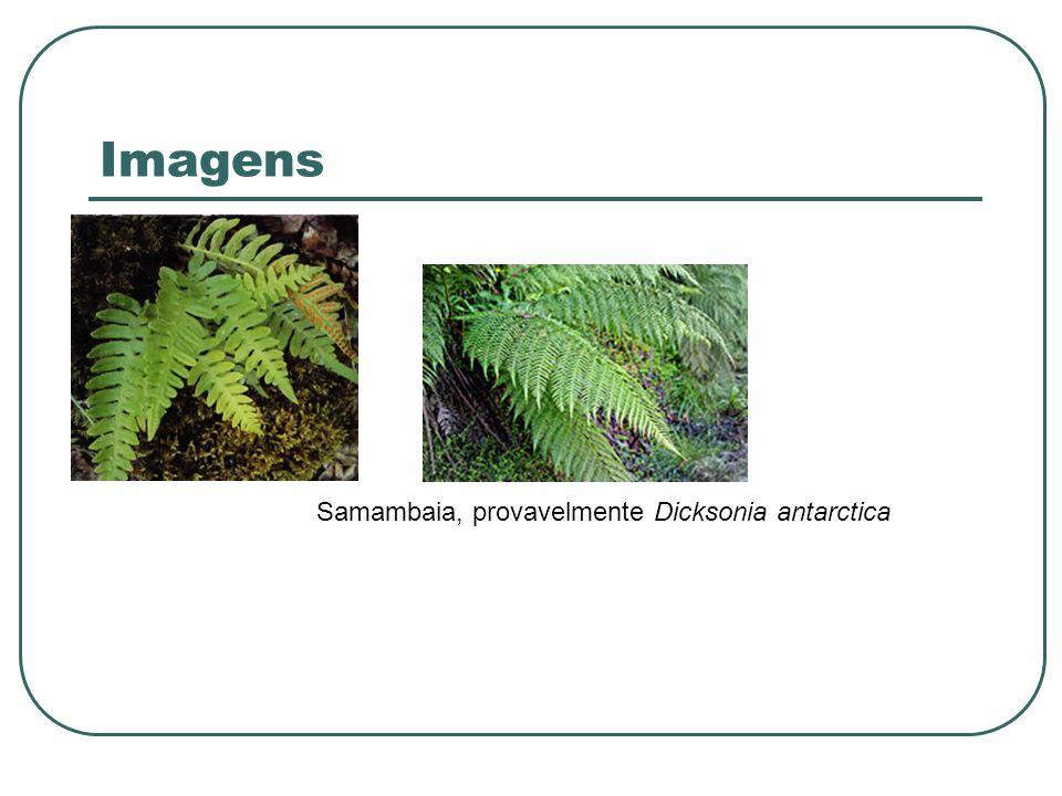 Imagens Samambaia, provavelmente Dicksonia antarctica