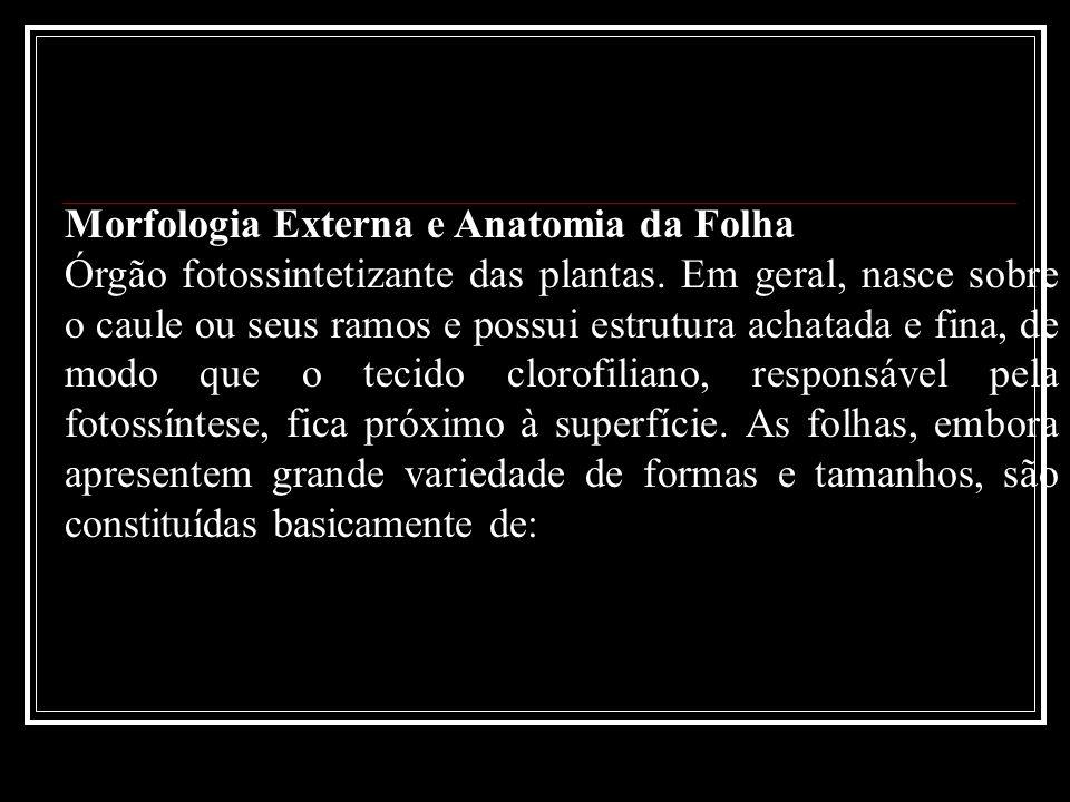 Morfologia Externa e Anatomia da Folha Órgão fotossintetizante das plantas. Em geral, nasce sobre o caule ou seus ramos e possui estrutura achatada e