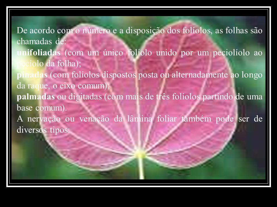 De acordo com o número e a disposição dos folíolos, as folhas são chamadas de: unifoliadas (com um único folíolo unido por um peciolíolo ao pecíolo da