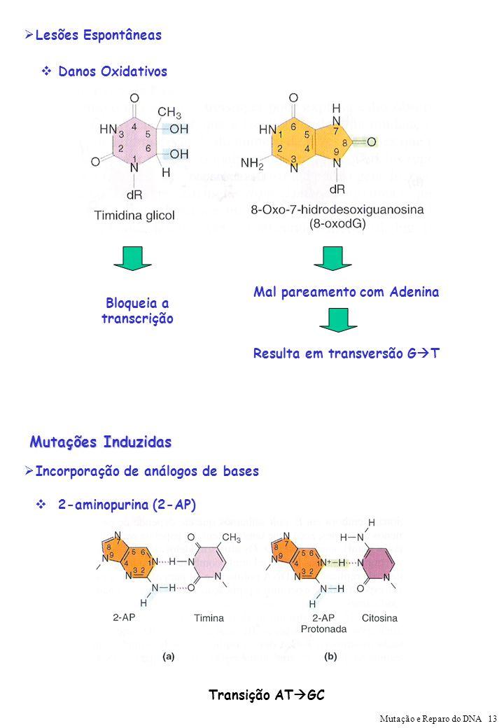 Danos Oxidativos Mal pareamento com Adenina Resulta em transversão G T Bloqueia a transcrição Lesões Espontâneas 2-aminopurina (2-AP) Transição AT GC