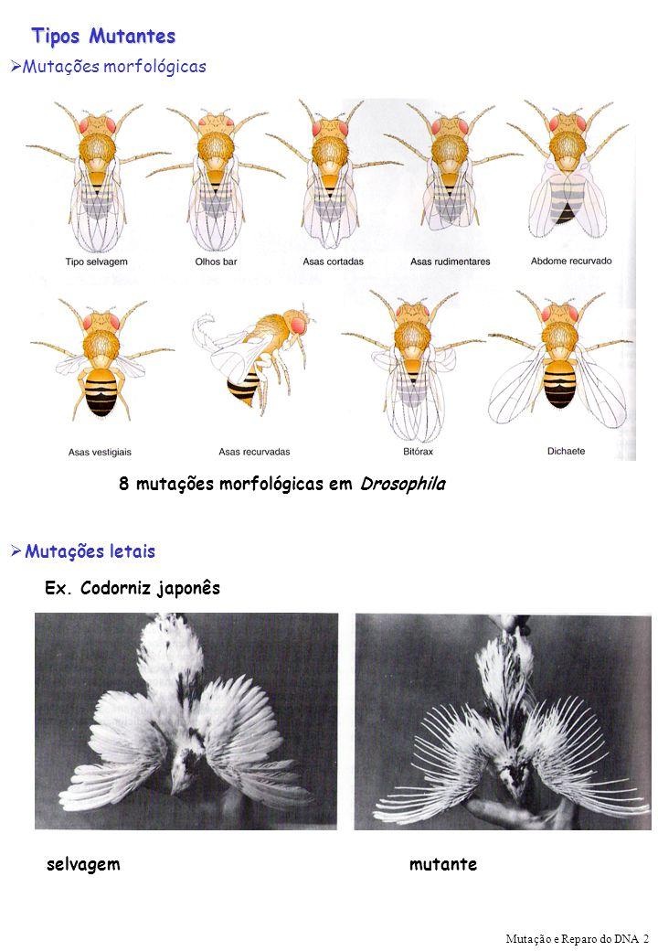 Tipos Mutantes Mutações morfológicas 8 mutações morfológicas em Drosophila Mutações letais selvagem mutante Ex. Codorniz japonês Mutação e Reparo do D