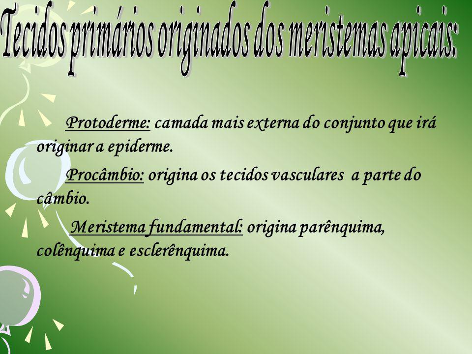 Protoderme: camada mais externa do conjunto que irá originar a epiderme. Procâmbio: origina os tecidos vasculares a parte do câmbio. Meristema fundame