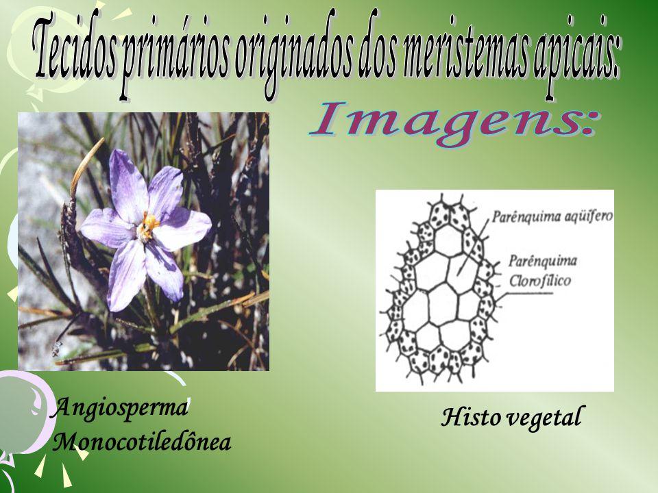 Histo vegetal Angiosperma Monocotiledônea
