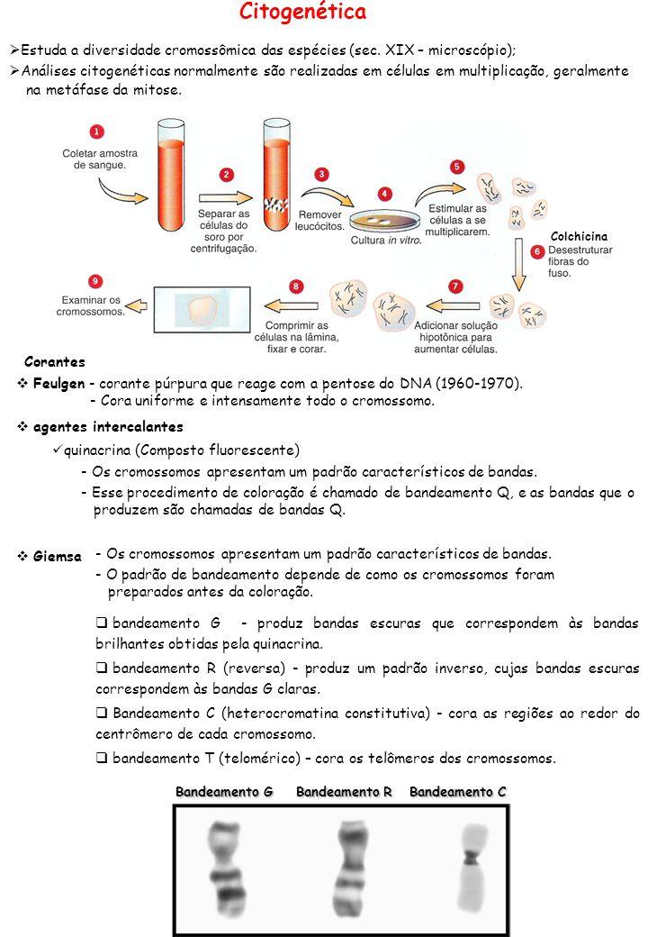 Citogenética Estuda a diversidade cromossômica das espécies (sec. XIX – microscópio); Análises citogenéticas normalmente são realizadas em células em