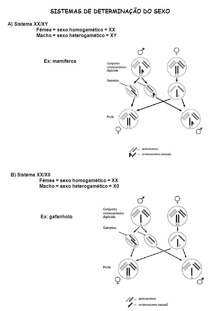 SISTEMAS DE DETERMINAÇÃO DO SEXO A) Sistema XX/XY Fêmea = sexo homogamético = XX Macho = sexo heterogamético = XY Ex: mamíferos B) Sistema XX/X0 Fêmea
