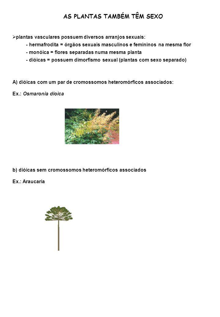 AS PLANTAS TAMBÉM TÊM SEXO plantas vasculares possuem diversos arranjos sexuais: - hermafrodita = órgãos sexuais masculinos e femininos na mesma flor