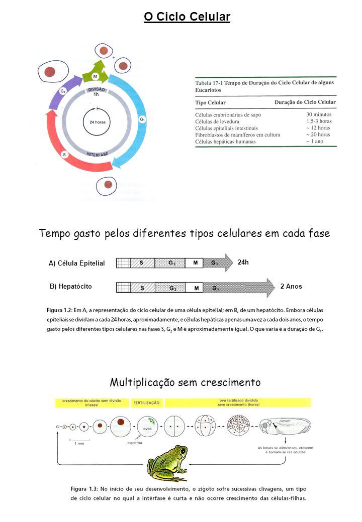O Ciclo Celular Tempo gasto pelos diferentes tipos celulares em cada fase A) Célula Epitelial B) Hepatócito 24h 2 Anos Multiplicação sem crescimento 1h