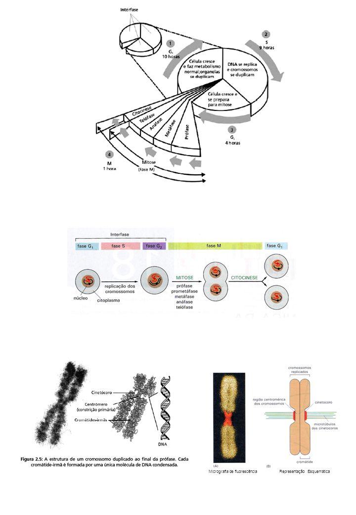 Micrografia de fluorescência Representação Esquemática