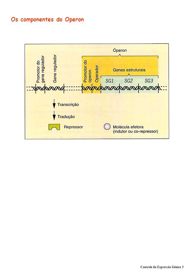 Controle da Expressão Gênica 3 Os componentes do Operon