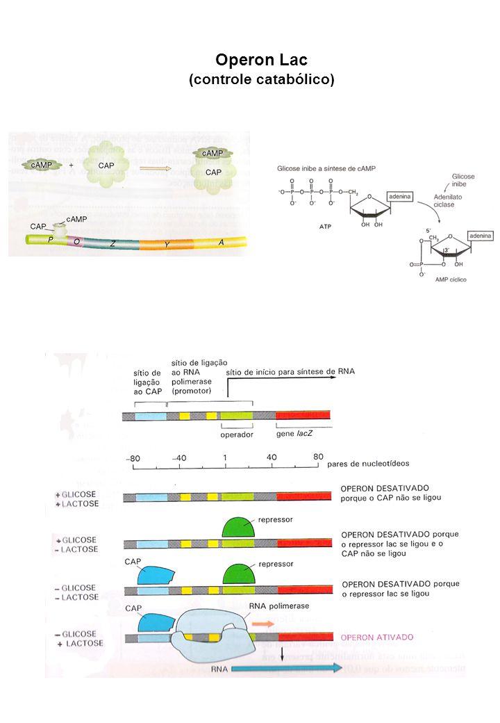 Operon de arabinose (controle positivo e negativo) Proteína C Envolvindos no metabolismo do açúcar arabinose Presença de arabinose Ausência de arabinose Gene Regulador