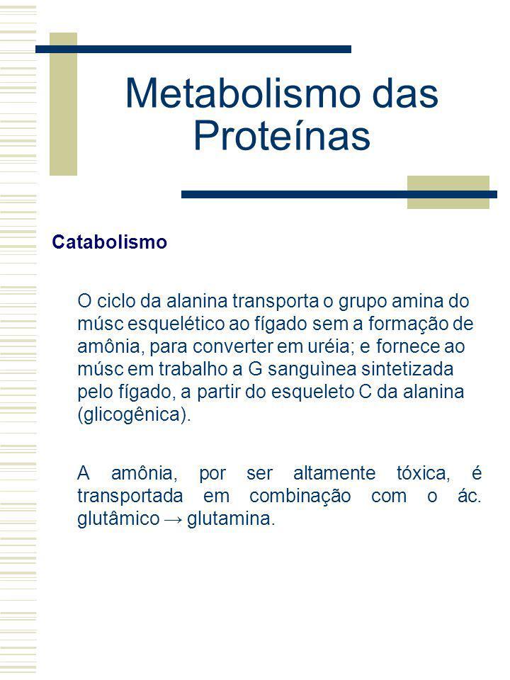 Metabolismo das Proteínas Catabolismo O ciclo da alanina transporta o grupo amina do músc esquelético ao fígado sem a formação de amônia, para convert