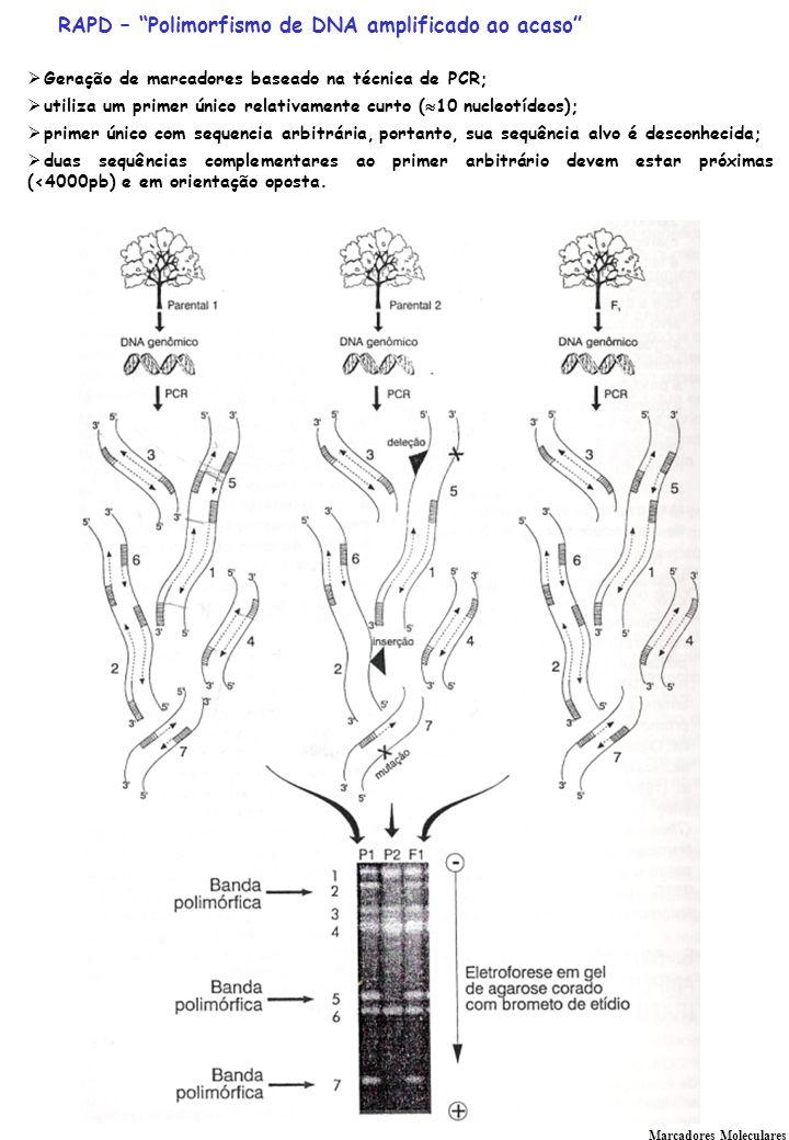 Marcadores Moleculares RAPD – Polimorfismo de DNA amplificado ao acaso Geração de marcadores baseado na técnica de PCR; utiliza um primer único relativamente curto ( 10 nucleotídeos); primer único com sequencia arbitrária, portanto, sua sequência alvo é desconhecida; duas sequências complementares ao primer arbitrário devem estar próximas (<4000pb) e em orientação oposta.