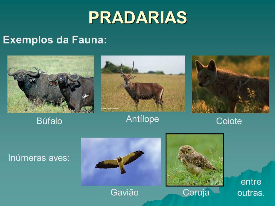 PRADARIAS Exemplos da Fauna: Búfalo Antílope Coiote Inúmeras aves: GaviãoCoruja entre outras.