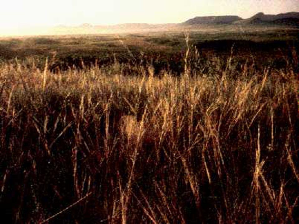 VEGETAÇÃO MEDITERRÂNEA Ocorre nas regiões de clima mediterrâneo (verões muito quentes e secos e invernos amenos e chuvosos); Ocorre nas regiões de clima mediterrâneo (verões muito quentes e secos e invernos amenos e chuvosos); Vegetação esparsa, que possui os três estratos: arbóreo, arbustivo e herbáceo; Vegetação esparsa, que possui os três estratos: arbóreo, arbustivo e herbáceo; Apresenta características xerófilas; Apresenta características xerófilas; Formações dominantes: garrigues e maquis.
