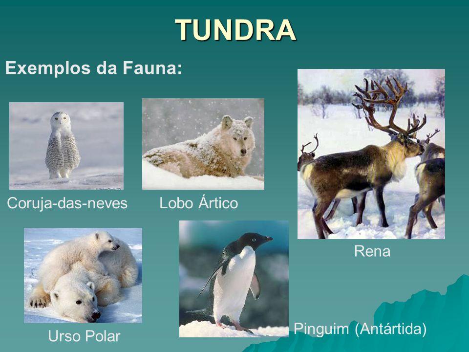 TUNDRA Exemplos da Fauna: Coruja-das-nevesLobo Ártico Urso Polar Pinguim (Antártida) Rena
