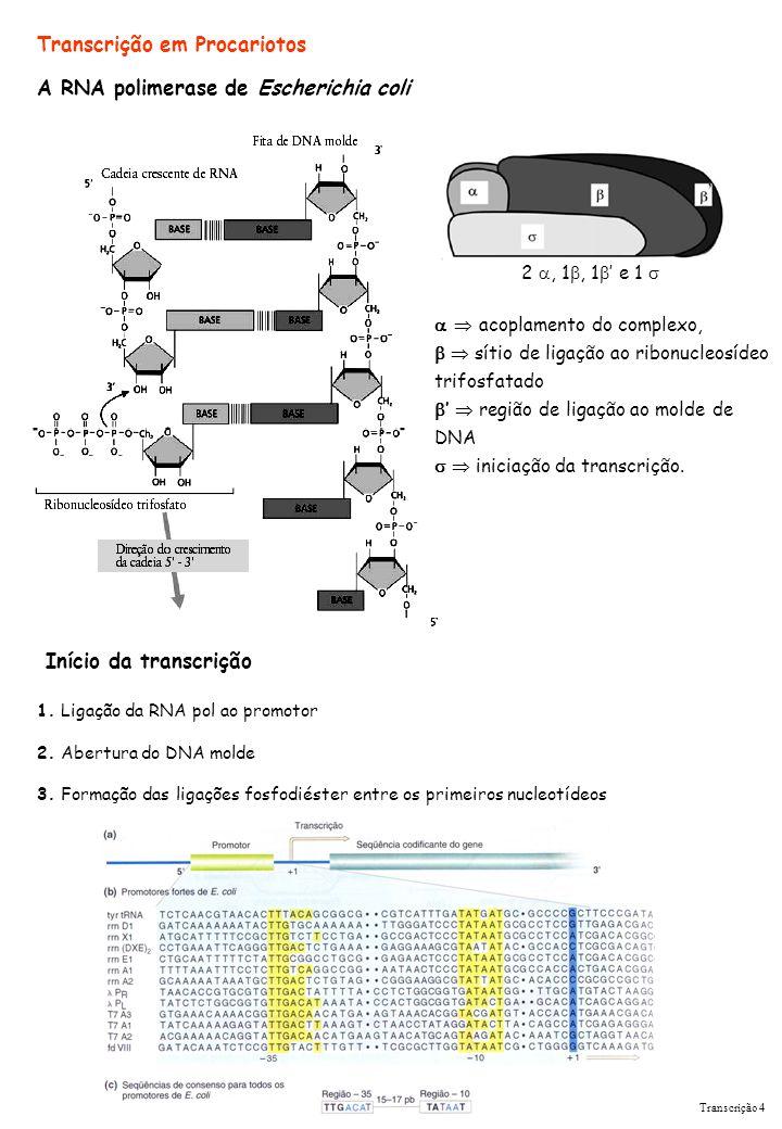 Transcrição em Procariotos A RNA polimerase de Escherichia coli 2, 1, 1 e 1 acoplamento do complexo, sítio de ligação ao ribonucleosídeo trifosfatado